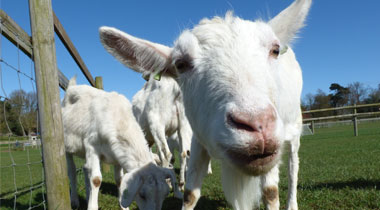 May 31st – Our new Goat Sanctuary continues to grow - Hatfield Park Farm
