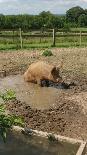 The pigs took a moment to cool off - Hatfield Park Farm